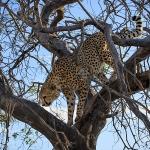 Cheetah in a Tree