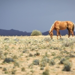 Palomino Namib