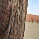 Bark of the Ancient Camel Thorn
