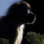 Cape Point Baboon