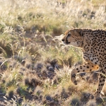 Cheetah on the Move