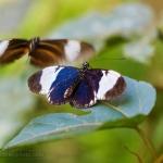 Courting Butterflies