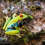 Red Eye of the Green Frog