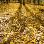 Aspen Shadows and Fallen Leaves