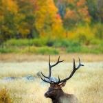 Fall Elk