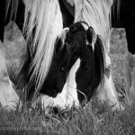 Gypsy Vanner Brothers