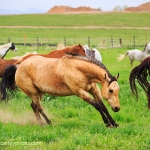 Buckskin in a Rainbow Herd