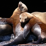 Wild Sea Lion Buddies